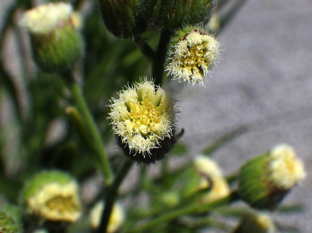 アレチノギクの花2