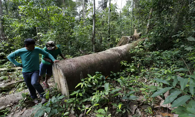 An illegally cut down tree in Maranhão state. Maranhão is Brazil's poorest state and one of its most violent. At one of the frontlines of deforestation, there have been deadly conflicts between several indigenous communities and loggers. Photo: Lunae Parracho / Greenpeace