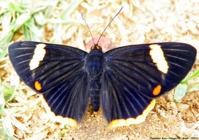 Riodina lycisca lycisca (HEWITSON, [1853]). Pitangui (MG, Brésil), 10 décembre 2012. Photo : Nicodemos Rosa