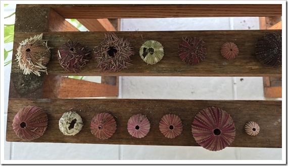 2017-09-09 Forida, Stuart - Sea Urchins