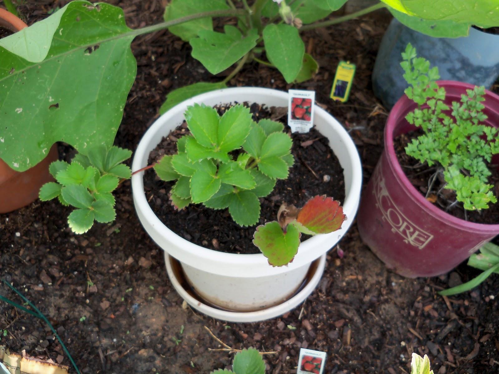 Gardening 2010, Part Two - 101_2700.JPG