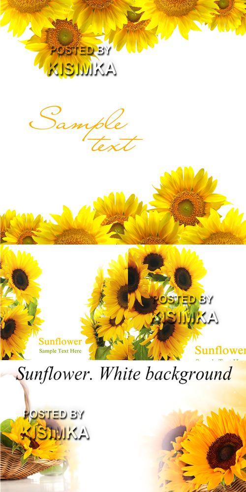 Stock Photo: Sunflower. White background