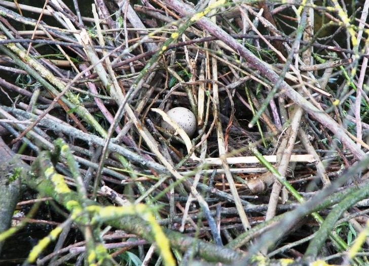 Brabantse Biesbosch 31-05-2015 - meerkoetnest.jpg