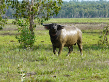 wildlife-water-buffalo-6.jpg