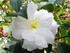 白色 淡桃色ぼかし 八重咲き 大輪