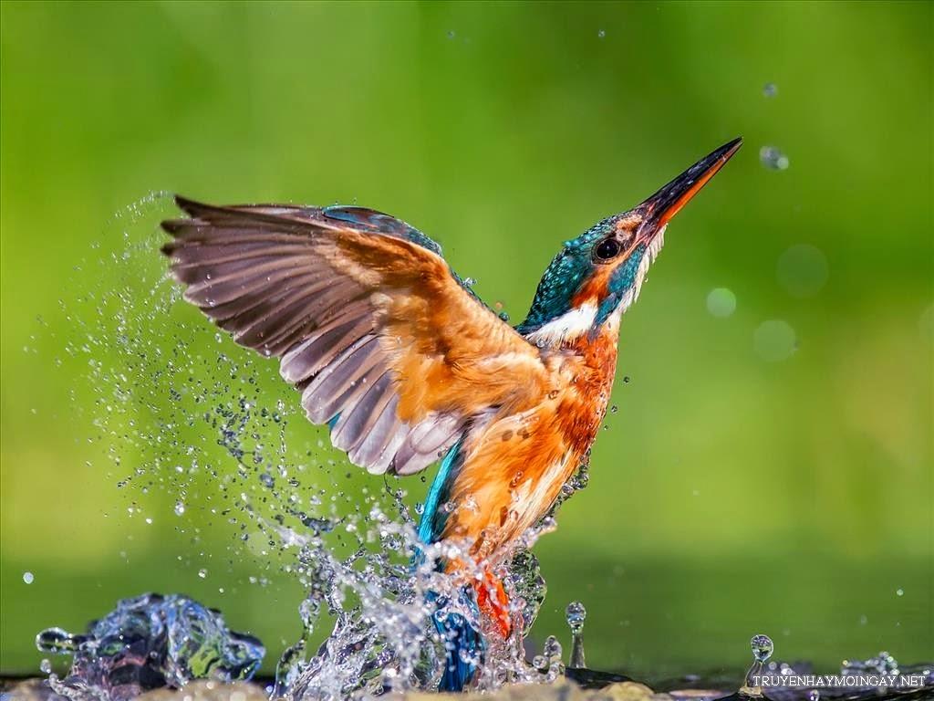 Ảnh Nền Chim Bói Cá Cực Dễ Thương