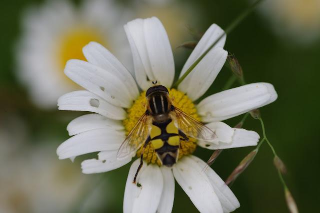 Syrphidae : Hélophile. Les Hautes-Lisières (Rouvres, 28), 14 jutin 2012. Photo : J.-M. Gayman