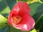 濃紅色 一重 ラッパ咲き 筒しべ 花糸は淡紅色 極小輪