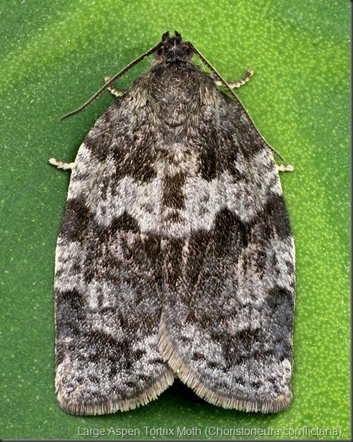 3637 Large Aspen Tortrix Moth (Choristoneura conflictana)