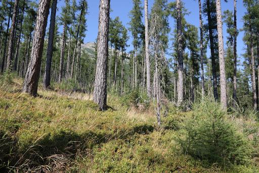 Smrekovcový les pod Slavkovským štítom