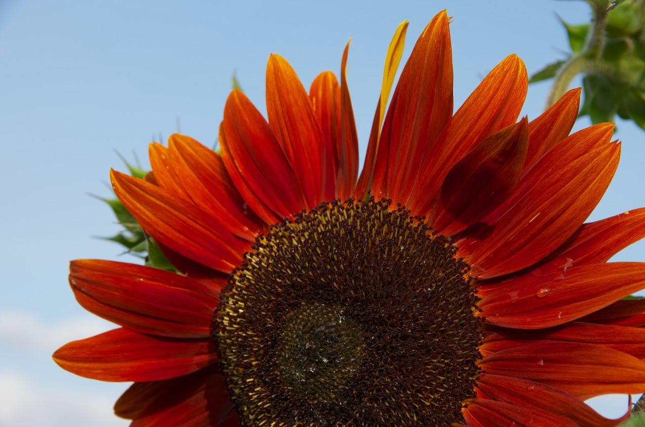 ひとつひとつが管状花