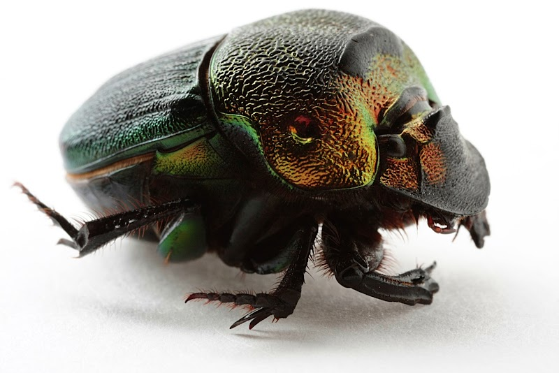 Dung beetle, Coleoptera, Scarabaeidae, Phanaeus igneus