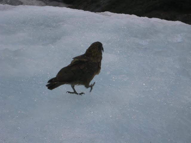New Zealand Kea Bird