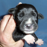 "pet-marked black male @ 1 week/Greg & Katie's ""Sarge"""