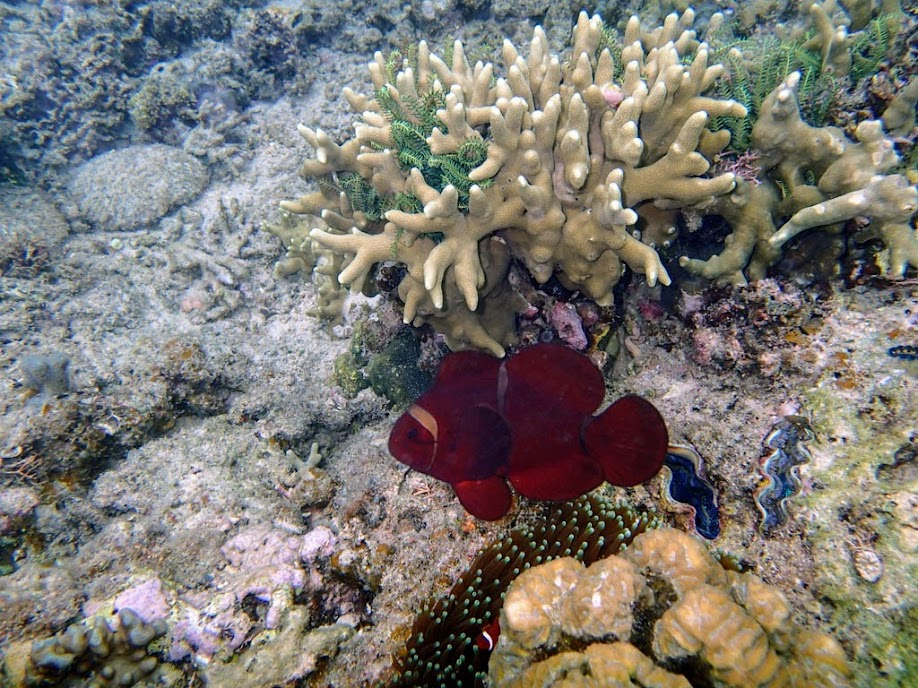Premnas biaculeatus (Maroon Clownfish), Miniloc Island Resort reef, Palawan, Philippines.