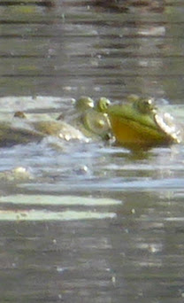 Frogs at Libby Hill pond-001.JPG