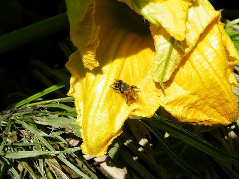 雌花の中から出てきたミツバチ