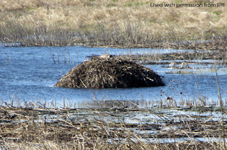 "A Canada goose incubates atop a muskrat lodge at Chichaqua. Photo from Iowa Public Radio story ""Sandhill Crane Rebound On Track,"" photo and story by Rick Fredericksen"