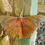 Saturniinae : Copaxa moinieri Lemaire, 1974 (?), mâle. Mount Totumas, 1900 m (Chiriqui, Panamá), 21 octobre 2014. Photo : J.-M. Gayman