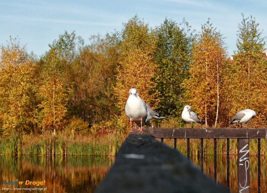 Park Reagana w Gdańsku - mewy nad stawami