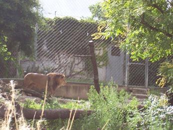 2007.07.05-005 lion de l'Atlas