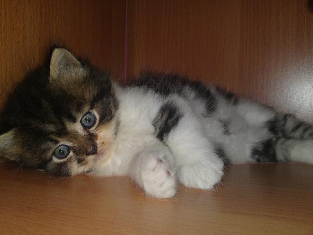 Rafiqa Nabeela Anak Kucing Parsi Untuk Di Jual