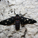 Indian Wasp Moth