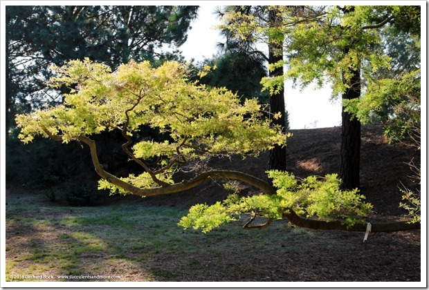 160716_UCDA_010_Acacia-cardiophylla
