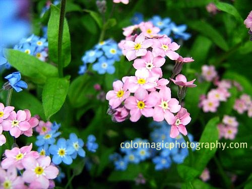 Pink and blue Forget-me-not pictures