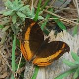 Precis eurodoce (WESTWOOD, 1850), endémique. Parc de Mantadia, 900 m (Madagascar), 27 décembre 2013. Photo : T. Laugier