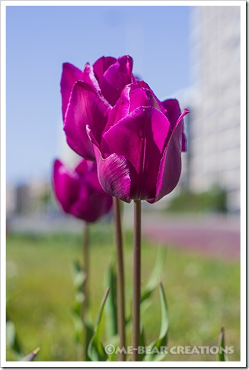 Tulips_in_the_city