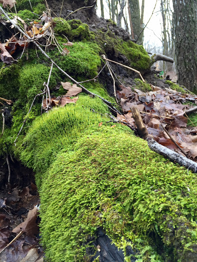 Not many signs of spring on the forest floor but the rain overnight really brought the moss to life!