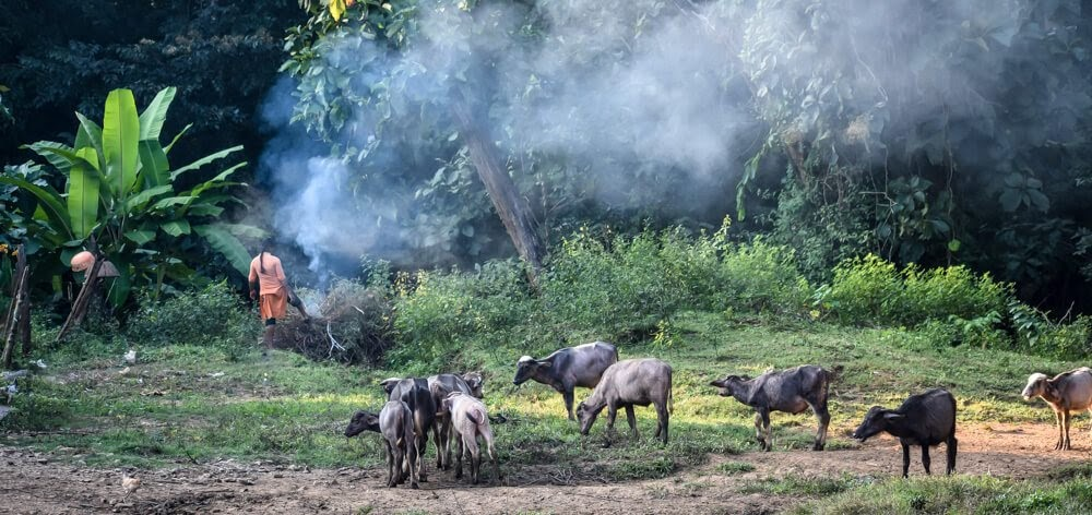 buffaloes+smoking+gowli+tribes+local+dandeli+jungle.jpg