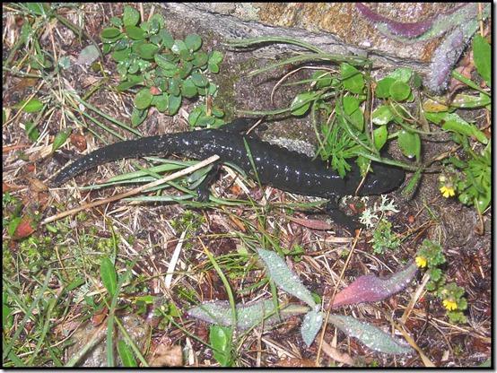 2409-Salamander
