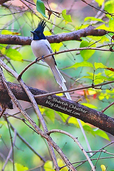 Beautiful bird - Asian Paradise Flycatcher
