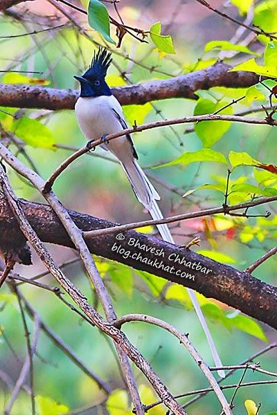 Beautiful bird - Asian Paradise Flycatcher