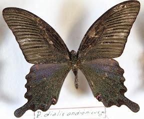 PAPILIO DIALIS ANDRANICUS.JPG