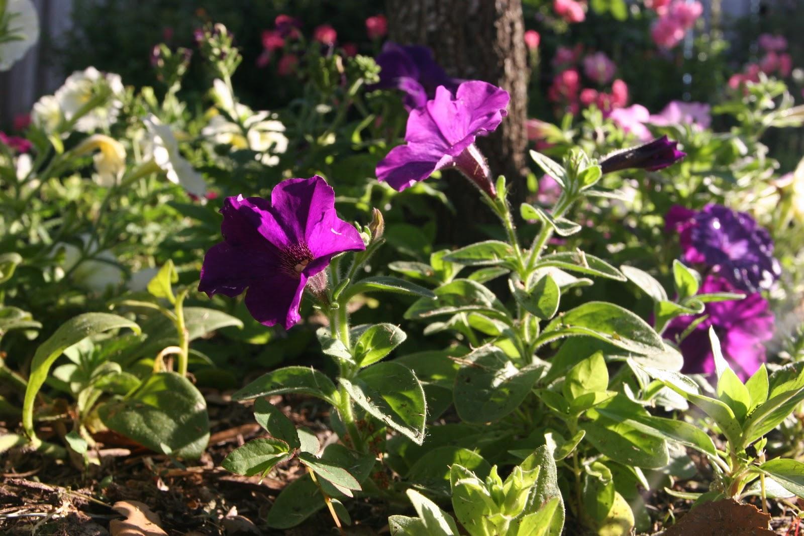 Gardening 2012 - IMG_3153.JPG