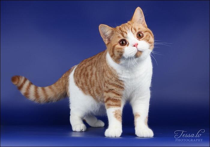 Mèo Anh Lông Ngắn | Mèo Aln | Mèo Anh Lông Ngắn thuần chủng