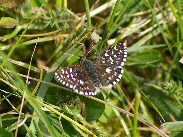 Pyrgus malvae (L., 1758). Hautes-Lisières (Rouvres, 28), 1er mai 2011. Photo : J.-M. Gayman