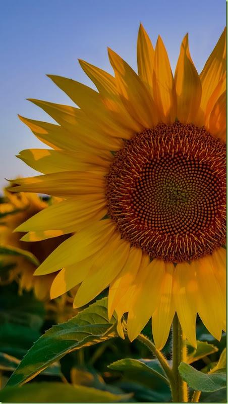 sunflowers 1080x1920