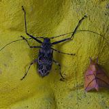 À gauche : Cerambycidae : Acrocinus longimanus (LINNAEUS, 1758). À droite :  Syssphinx bidens (ROTHSCHILD, 1907). Tunda Loma à Calderon (Esmeraldas, Équateur), 7 décembre 2013. Photo : J.-M. Gayman