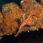 Harlequin ghost pipefish (Dauin, Negros)