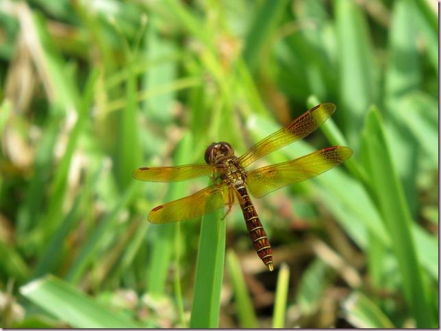 dragonflyIMG_9498