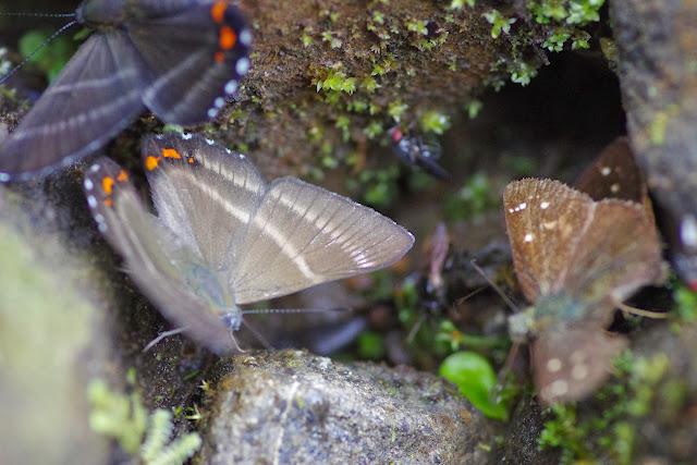 Siseme aristoteles sprucei H. BATES, 1868 et Dalla crithote (HEWITSON, 1874). Piste de Gualchan à Chical, 1900 m (Carchi, Équateur), 22 novembre 2013. Photo : J.-M. Gayman