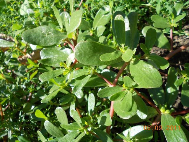 стелющееся растение (уличное!) DSCN0788