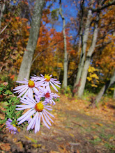 Photo: Purple flowers in front of an orange autumn forest at Hills and Dales Park in Dayton, Ohio.