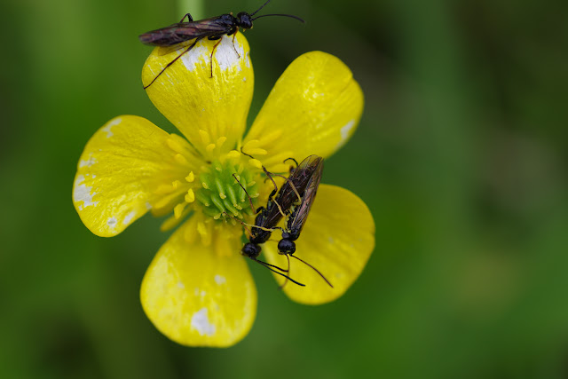 Tenthrèdes (Hyménoptères). Les Hautes-Lisières (Rouvres, 28), 14 juin 2012. Photo : J.-M. Gayman