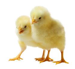 Lịch tiêm phòng vắc-xin cho gà sau khi sinh cho tới lớn