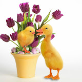 a chick and a duckling standing by a pot of burgundy tulips and also filled with with small green and lavender eggs